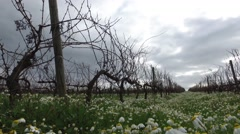 Vineyards in winter with daisies flowers on a cloudy day steady cam gimbal Stock Footage