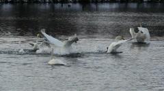 Stock Video Footage of Swan runs along lake surface slow motion