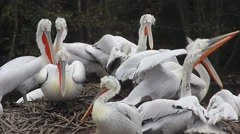 Many Dalmatian Pelicans on their Nest Stock Footage