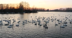 Stock Video Footage of Swans and wild ducks on the lake at sunset