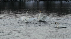 Swans couple waving wings slow motion - stock footage