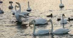 Swans and wild ducks swimming in the lake - stock footage