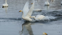 Swans Fight in slow motion - stock footage