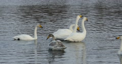 Swans on the lake shout - stock footage