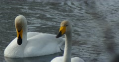 Swans swim in the lake close up - stock footage