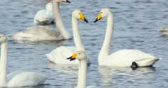 Swans swim in the lake in wild nature - stock footage