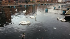 Swans and other birds on a canal in London Stock Footage