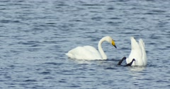 Swans swim in the lake - stock footage