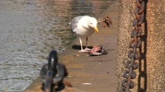 Seagull eats dead bird at the riverside in a city. Stock Footage