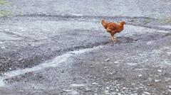 Chicken near creek Stock Footage