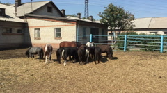 Ponies in the corral eating hay. Stock Footage