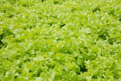 Hydroponic green oak lettuce vegetable - stock photo