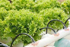 Hydroponic frillice iceberg lettuce vegetable - stock photo