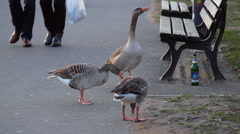 Ducks look for bread crumbs and leftovers, park bench, beer bottle, Germany Stock Footage
