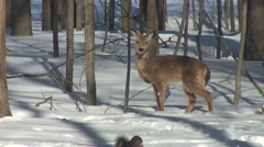 WHITE TAIL DEER EATS AND WATCHES SQUIRREL - stock footage