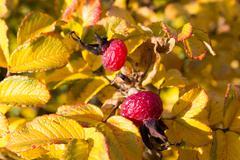 Rosehip berries on the twig, natural autumn season Stock Photos