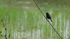 Pied bush chat bird resting on the branch Stock Footage