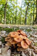 Ringless Honey Fungus (Armillaria tabescens) - stock photo