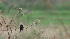pied bushchat bird resting and flying in the field - stock footage