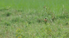 Stone chat bird resting in the field Stock Footage