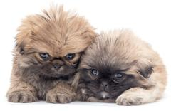two beautiful fluffy little puppy on a white background - stock photo