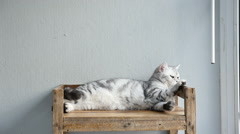 American short hair cat lying and looking on old wood shelf - stock footage