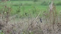 pied bush chat bird cleaning its wing - stock footage