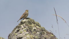 Bird Ortolan bunting singing and displaying landed on a rock after migration Stock Footage