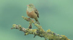 Bird Ortolan bunting singing and displaying landed on a branch after migration Stock Footage