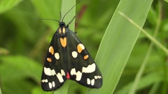 Scarlet Tiger Moth in close-up - stock footage