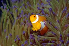 Ocellaris clownfish false percula clownfish or common clownfish Amphiprion Stock Photos