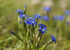 Alpine gentian Gentiana nivalis Carinthia Austria Europe - stock photo