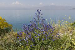 Bugloss Anchusa officinalis Lake Van Eastern Anatolia Region Anatolia Turkey - stock photo