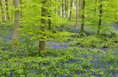 Common bluebell Hyacinthoides nonscripta in deciduous forest North - stock photo