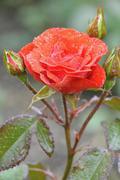 Floribunda Rose Julischka Tantau 1974 scarlet flower Germany Europe - stock photo