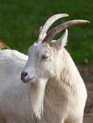 White West African dwarf goat Capra hircus captive Germany Europe - stock photo
