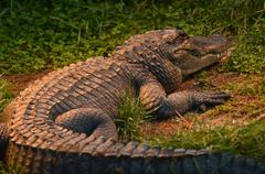 American alligator rest on a river bank Stock Photos