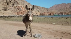 Oman, Musandam, Gulf of Oman, ancient Village of Haffa. Donkey on the beach Stock Footage