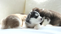 Cute siberian husky puppies lying on white bed under sunlight Stock Footage