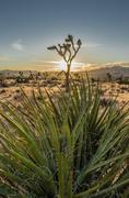 Yucca Plant with Joshua Tree and Sunset in Background Kuvituskuvat
