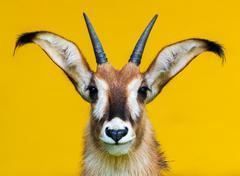 roan antelope portrait on yellow background - stock photo