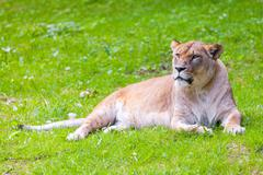 lying lioness looks to the left - stock photo