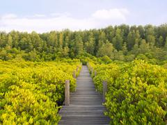 Walkway with wooden bridge through mangrove forrest - stock photo
