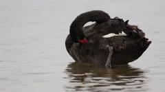 Black swan (Cygnus atratus) preening Stock Footage