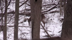 Giant Whitetail deer buck  10 point digging in the snow - stock footage