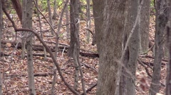 Whitetail monster 12 point checking scrapes Stock Footage