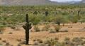 4K Saguaro Cactus 06 Sonoran Desert Arizona Footage