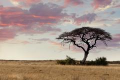 Large Acacia tree in the open savanna plains Africa Stock Photos