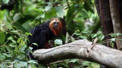 Lion Tamarin on tree - stock footage