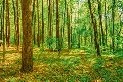 Spring Green Deciduous Forest Woods. Spring Nature - stock photo